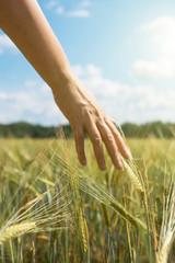 Female hand touching rye in a farm field.