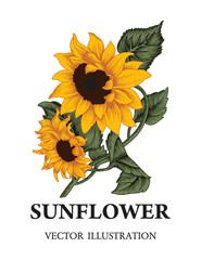 Подсолнух. Цветок. Летние растения.Векторная иллюстрация в стиле винтаж.