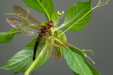 Brown dragonfly on a plant. Large dragonfly with transparent wings.