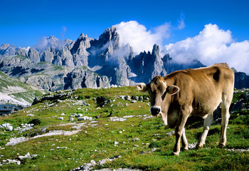 cows grazing in the valleys of the dolomites