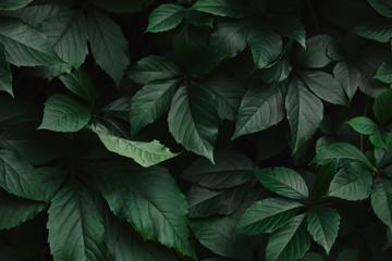 close up of dark green wild vine leaves in park Wall mural
