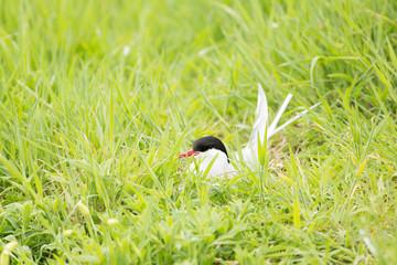 Arctic tern (Sterna paradisaea) on nest