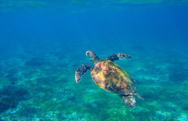 Sea turtle in seashore underwater photo. Marine green sea turtle. Wildlife of tropical coral reef.