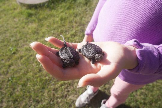 Girl holding two juvenile snapping turtles, Chelydra serpentina.