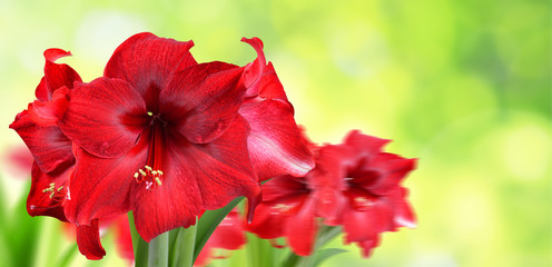 Red Amaryllis flowers on green natural blurred background.