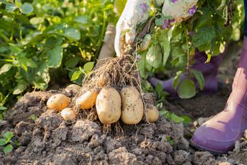 Hands Of Female Gardener Pull Fresh Potatoes From Ground.