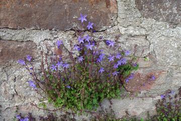 Mauerblümchen - Campanula patula in einer Mauer