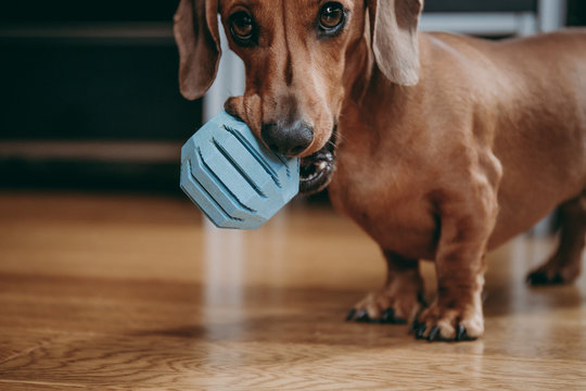 Smooth brown miniature dachshund puppy inviting the owner to play with him, holding blue toy ball in his mouth.