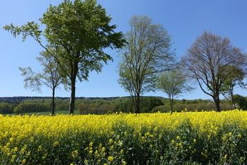 Blühende Natur - gelbes Rapsfeld