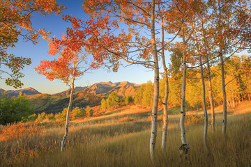 Fall color in the aspen glades of the Wasatch Mountains, Utah, USA.