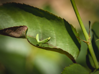 A lillie child Praying Mantis sits on a leaf of a rose. Macro of small hunter or Mantis Religiosa in a natural habitat under natural light.