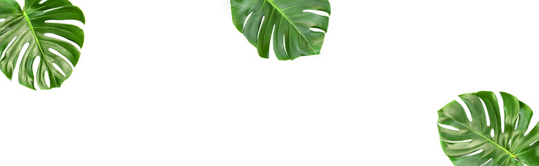 Monstera leaves isolated white background Floral banner