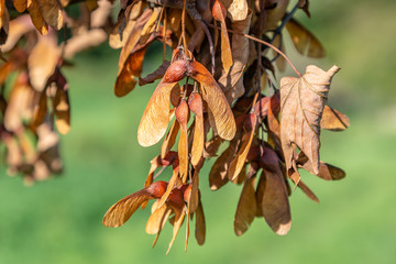 Brown leaves and seeds of a fallen sycamore tree