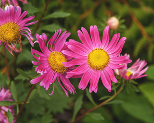Pink asters frikartii. Autumn flowers