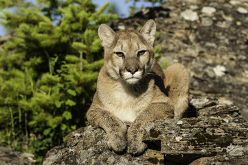 Wall Mural - Mountain Lion on Rocky Ledge