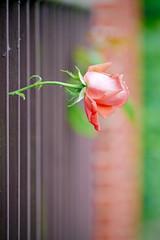 eine einzelne Rose wächst durch einen Gartenzaun