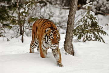 Wall Mural - Tiger Hunrting in the Snow