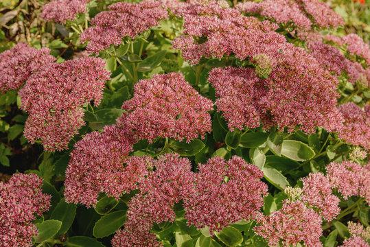 Sedum telephium. Flowers Autumn Joy. Hylotelephium telephium