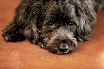Photograph of a black and Shih Poo dog