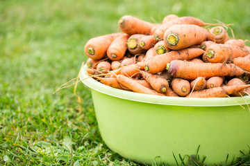 A lot of carrots in basin at the garden on grass