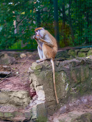 Funny macaque monkey feeds