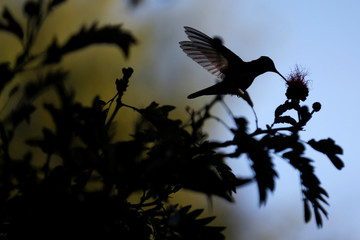 A hummingbird is photographed during the National Orchid Exhibition at the Jose Celestino Mutis Botanical Garden in Bogota