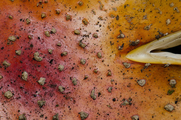 Cap detail of a Fly agaric (Amanita muscaria). Invercagill. South Island. New Zealand.