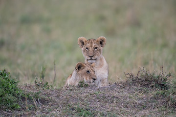 Two lion cube playing after feeding at a kill site in Masai Mara Game Reserve, Kenya Wall mural