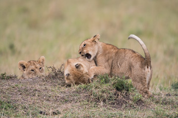 THree lion cubs playing Wall mural