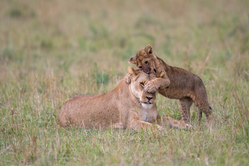 Lioness and cub playing Wall mural