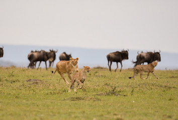 Female lion chasing cheetah