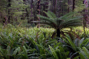 Rainforest with wheki (Dicksonia squarrosa) and crown ferns (Blechnum discolor). Fiordland National Park. Southland. South Island. New Zealand.