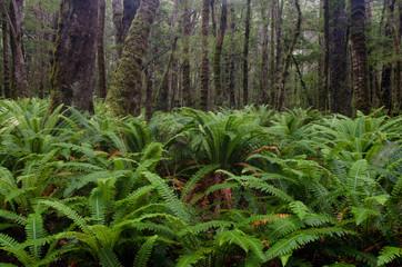 Rainforest with crown ferns (Blechnum discolor). Fiordland National Park. Southland. South Island. New Zealand.