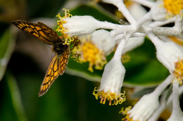 Common copper (Lycaena salustius) on a New Zealand alpine strawflower (Helichrysum plumeum). Fiordland National Park. Southland. South Island. New Zealand.