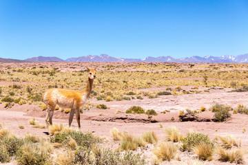 Animales en algún lugar del desierto de atacama en el norte de Chile
