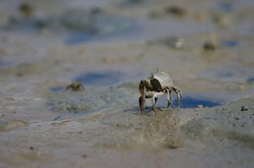 Tunnelling mud crab (Austrohelice crassa). Hoopers Inlet. Otago Peninsula. Otago. South Island. New Zealand.