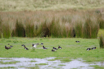 Flock of South Island pied oystercatchers (Haematopus finschi) and paradise shelduck (Tadorna variegata) to the left. Otago Peninsula. Otago. South Island. New Zealand.
