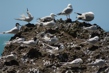 White fronted terns (Sterna striata) and red billed gulls (Larus novaehollandiae scopulinus). Cape Kidnappers Gannet Reserve. North Island. New Zealand.