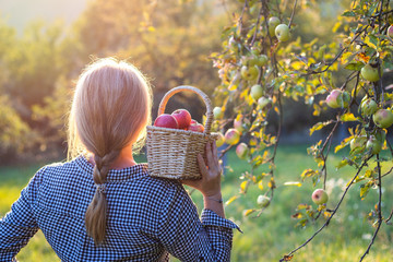 Beautiful young woman holding wicker basket and harvesting apples from fruit tree