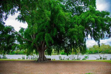 Tree nearby Brisbane city in Queensland, Australia. Australia is a continent located in the south part of the earth.