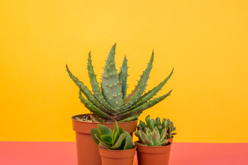 lot of cactus in pots stands on a pink background