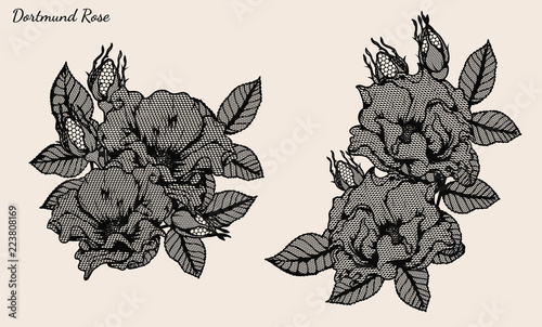 Line Drawing Of Rose Plant : Dortmund rose lace vector set by hand drawing beautiful flower on