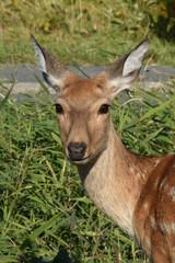 Wild Ezo Deer