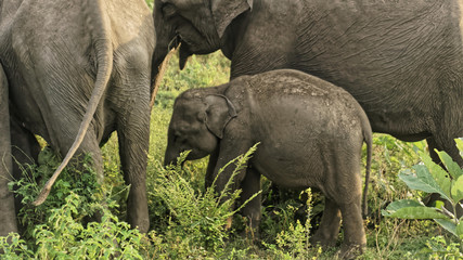 Wild Asian elephants family in Yala National Park, Sri Lanka