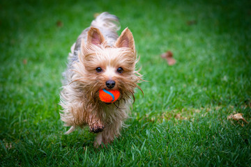 Yorkshire Terrier Fetching an Orange Ball
