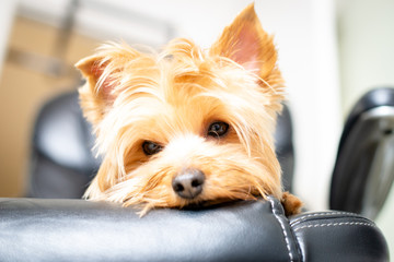 Yorkshire Terrier sleeping on a black leather chair