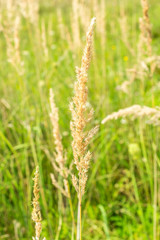 Dry grass as natural background. Close up.