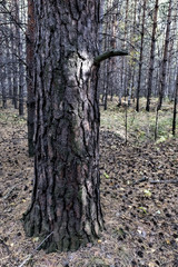 Fototapete - big old pine tree on the background of the young forest