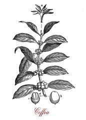 Vintage print of Coffea coffee plant botanical morphology:  leaves, flowers and berries containing 2 coffee beans each.