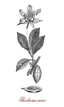 Vintage engraving of  cacao bean, flower and cacao tree botanical morphology.